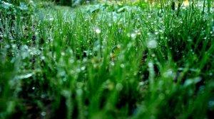 dewy_grass